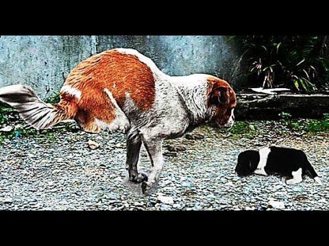 """EL VIDEO MÁS HERMOSO Y CONMOVEDOR DEL MUNDO """"Perras arriesgando sus vidas por sus cachorros"""""""