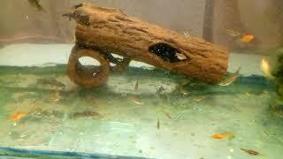 Мальки Золотых рыбок