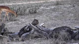 Djuma: Impala baby: first one seen on cam this season - 17:49 - 11/17/18