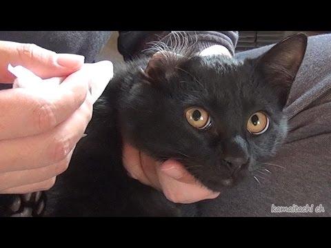 黒子猫クロの耳掃除 Ear cleaning of black kitten Kuro【瀬戸の黒猫日記】
