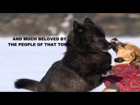 Ararad Khatchikian, Romeo the Alaskan black wolf www.ararad.net