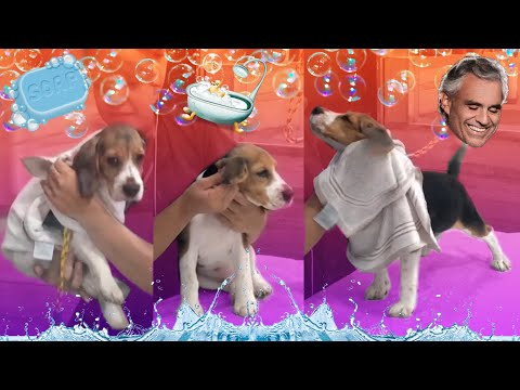 BEAGLE FIRST BATH PET SALON | Bocelli Beagle