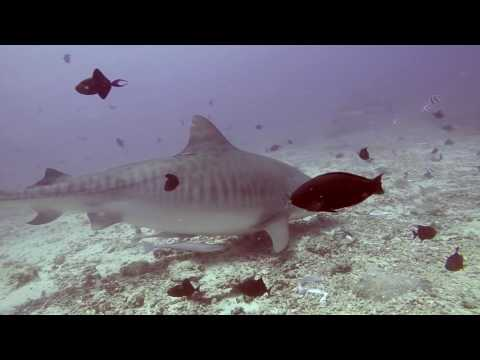 Dive Adventures Tiger sharks Fiji