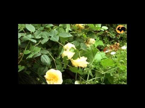 Розы в Саду. Серия 29. Абрикосовые и желтые розы.