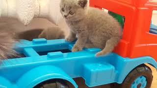 Британские котята голубого окраса в нашем питомнике.
