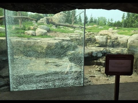 Bear shatters glass wall with rock at Minnesota Zoo