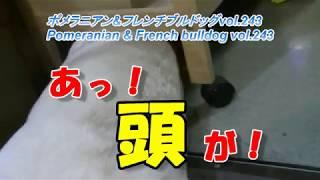 ポメラニアン&フレンチブルドッグvol.243 Pomeranian & French bulldog ...