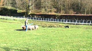 Sheep Dog In Training At Ambleside In The Lake District - 2013