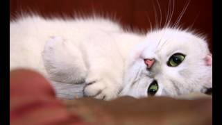 Красивые кошки , коты , белого и черного окраса с зелеными , карими глазами