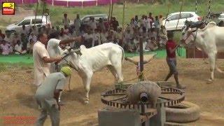 FARWALA (Jalandhar)   BULL HALTI RACES   ਬਲਦਾਂ ਦੀਆਂ ਹੱਲਟ ਦੌੜਾਂ - 2016    Full HD    Part 2nd