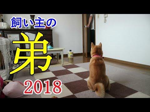 柴犬小春 【ついにこの日が!】年一で遊びに来る飼い主の弟シリーズ2018ver