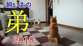 柴犬小春 【ついにこの日が!】年一で遊びに来る飼い主の弟シリーズ2018ver thumbnail