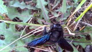 Carpenter bees (blue bee) Пчела-плотник ксилокопа(древесная пчела-плотник, Xylocopa valga, древесная пчела, пчела с синими крыльями, пчела синие крылья, синяя пчела,..., 2015-07-30T17:40:43.000Z)