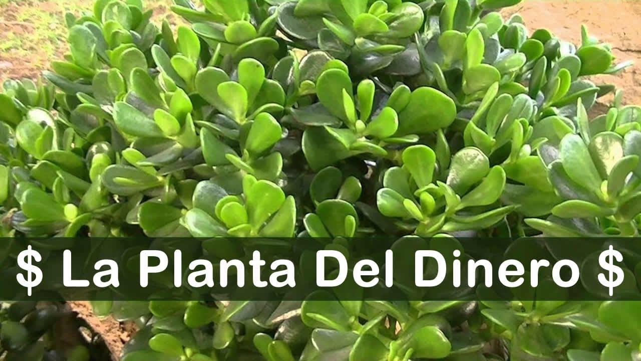 Esta planta funciona como im n para atraer el dinero y la - Como atraer dinero y buena suerte ...