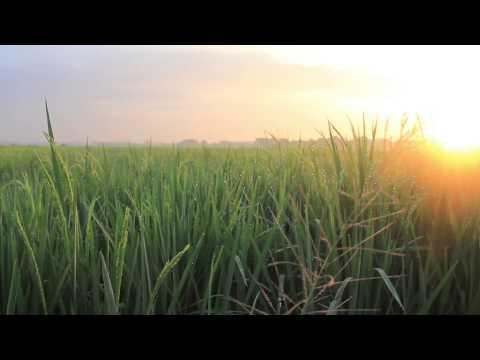 Free Paddy Field Stock Footage
