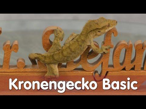 Reptil TV - Folge 97 - Kronengecko Basic