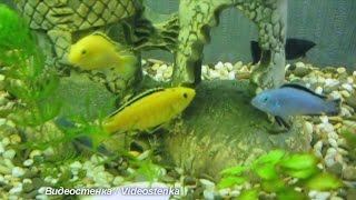 Рыбки цихлиды кружляют