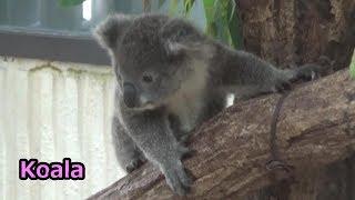 埼玉県こども動物自然公園のコアラの赤ちゃんシャインです。 Koala baby...