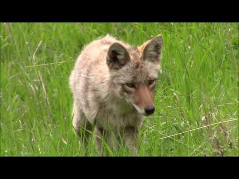 Coyote catches rodent in Yellowstone