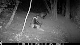 Berkshire badger cub scent marks his yearling brother (and then sits on him!)