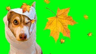 ЛУЧШИЕ МОМЕНТЫ ОСЕНИ!! (ХАски Бублик) Говорящая собака Mister Booble