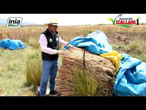 Quinua Orgánica, Cabana, Puno, Perú