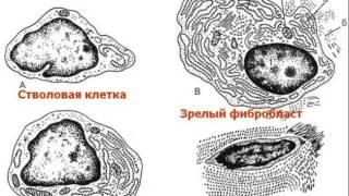 видео Волокнистые соединительные ткани