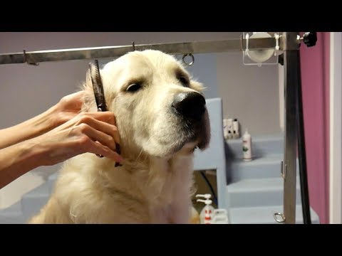 Grooming Guide - How to Groom a Golden Retriever #45