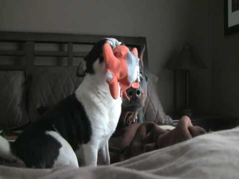 Doberman Defeats Chihuahua