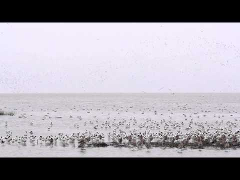 Shorebirds out on the  Mudflats, Deep Bay,China. 3Mar 2014