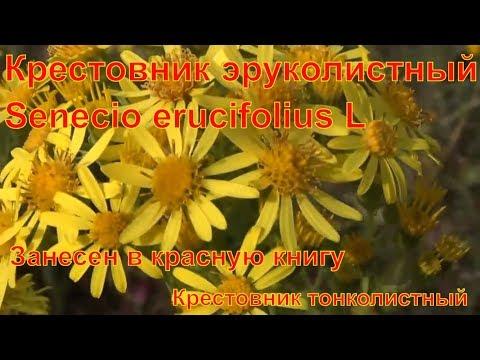 Крестовник эруколистный Что за растение лекарственные растения полей и лесов занесен в красную книгу