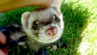 FERRETS PLAYING - CUTENESS OVERLOAD