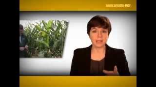 Maïs fourrage : anticiper la date de récolte - ARVALIS-infos.fr
