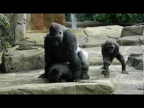 Little Girl and Baby Gorilla Become Friends from YouTube · Duration:  1 minutes 18 seconds