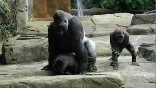 Hot Sex Gorilla