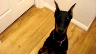 Our Smart Doberman  Pinscher ~ Isis ~ 5 Month Old Dobie Pup!!!
