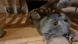 Chunky British Shorthair Cat
