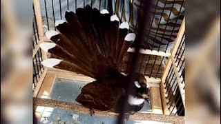Download Mp3 Burung Kipasan Si Pemarah Berkicau Ekor Bergoyang