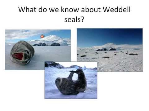 Polar Professional Development - Weddell Seals in Antarctica