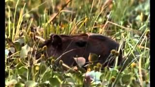 Piranhas- Die Killerfische im Amazonas