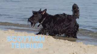 Scottish Terrier Dog Breed  Information and Interesting Facts