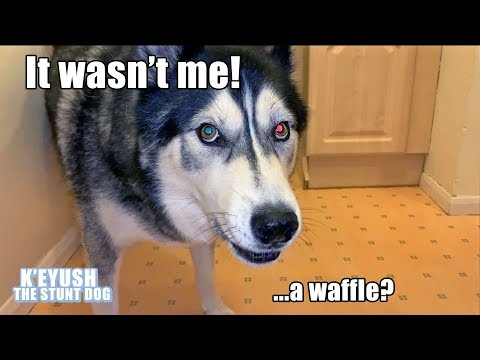 Husky Argues About Breaking NEW Bowl Until I Offer Waffles!
