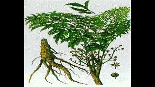Cách trồng đinh lăng tại nhà đúng chuẩn để có nhiều lá và rễ to cực dễ ai cũng làm được