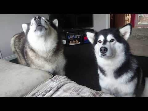 Stubborn alaskan Malamute talks back