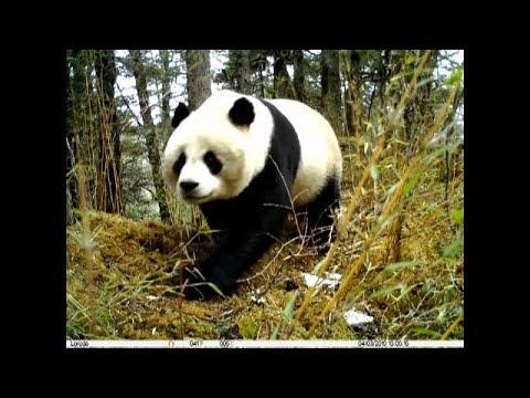 شاهد: الكاميرات تلتقط لهو الباندا وشبلها بمحمية طبيعية في الصين…  - نشر قبل 3 ساعة