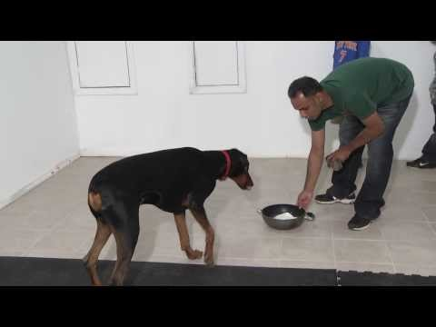 Doberman Pinscher Amazing Tricks