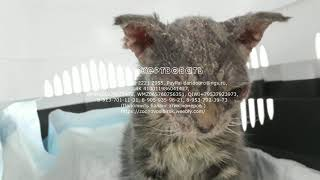 Известный котенок с редким  Синдромом Лайелла у животных Спасение Гриши