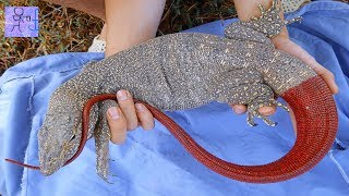 Bắt Được Kỳ Đà Đuôi Đỏ Quý Hiếm Kỳ Lạ Nhất Việt Nam . Khổng Lồ. Catch Komodo Dragon