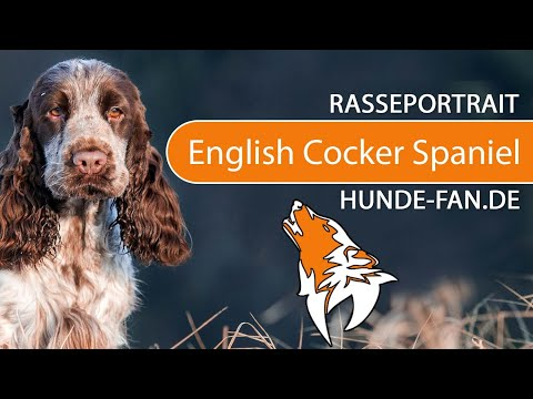 English Cocker Spaniel [2018] Rasse, Aussehen & Charakter