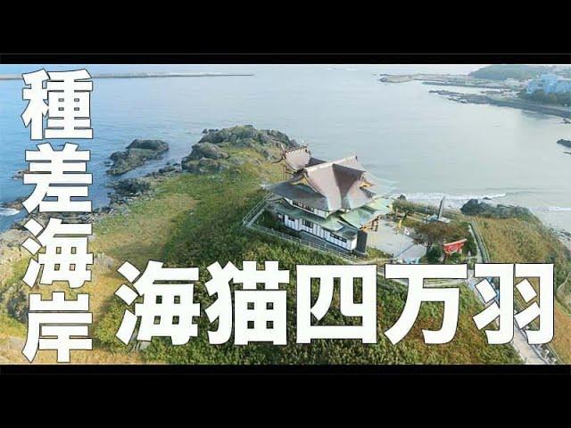 【種差海岸・青森#160】「ウミネコ四万羽」空撮・たごてるよし_Aerial_TAGO channel